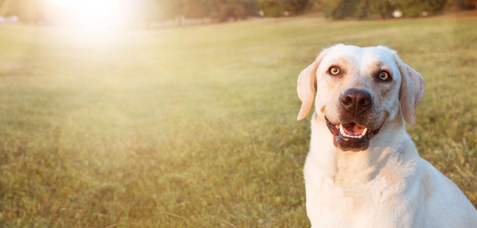 BANNER HAPPY LABRADOR DOGS  RETRIEVER SITTING IN THE GRASS ON SUMMER SUNSET LIGHT stock photos