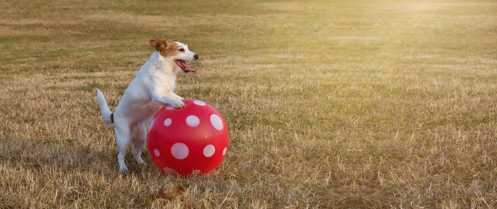 BANNER JACK RUSSELL PLAYING FOOTBALL SOCCER WITH A RED BALL AT PARK GRASS ON SUMMER VACATIONS royalty free stock images