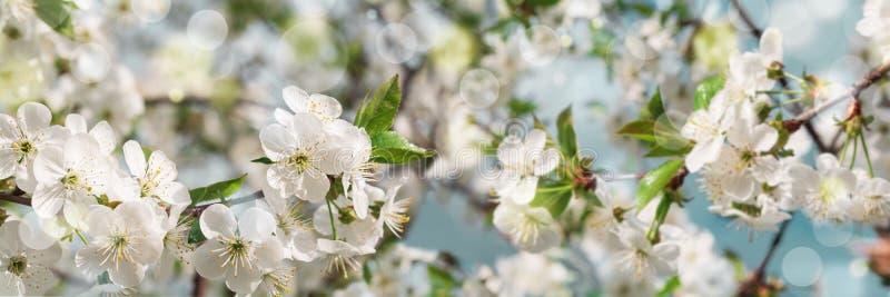Banner 3:1 Kirschblüte in voller Blüte gegen den blauen Himmel Frühlingshintergrund Leerzeichen kopieren Weichfokus lizenzfreie stockbilder