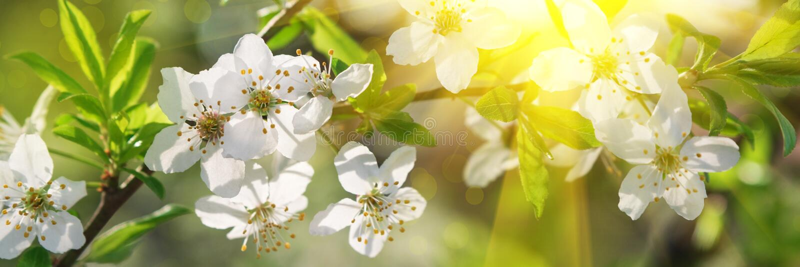 Banner 3:1 Kirschblüte in voller Blüte mit Sonnenlicht gegen den blauen Himmel Frühlingshintergrund Leerzeichen kopieren Weichfok lizenzfreie stockfotos
