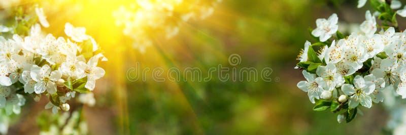 Banner 3:1 Kirschblüte in voller Blüte mit Sonnenlicht vor konzentriertem Hintergrund Frühlingshintergrund Leerzeichen kopieren W lizenzfreies stockbild