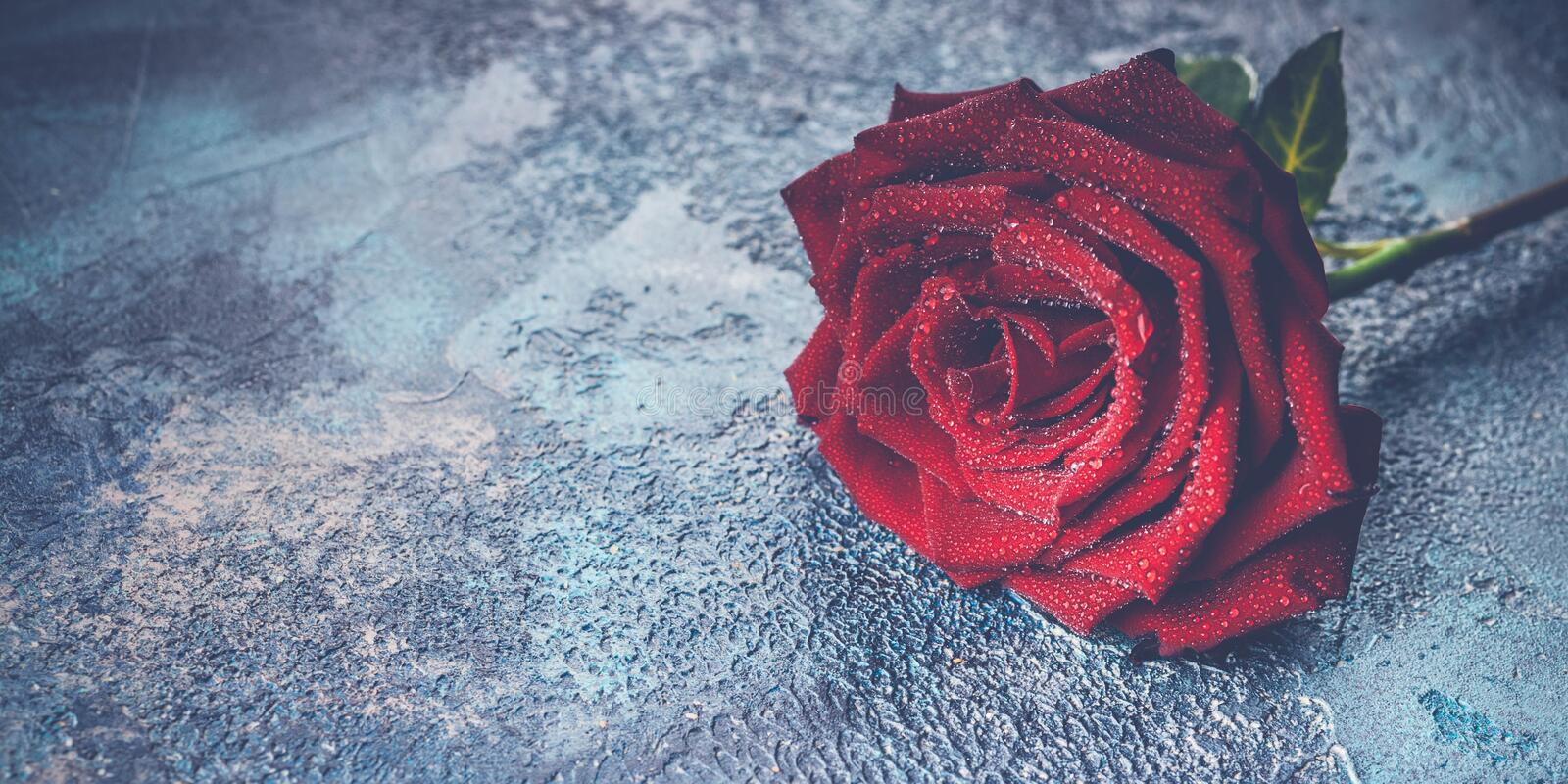Banner Large red rose with water droplets on a concrete blue background. Toning stock photo
