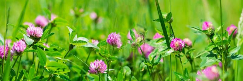Banner 3:1 Lila-Klee-Trifolium-Blumen auf der Wiese Frühlingshintergrund Weichfokus stockbild