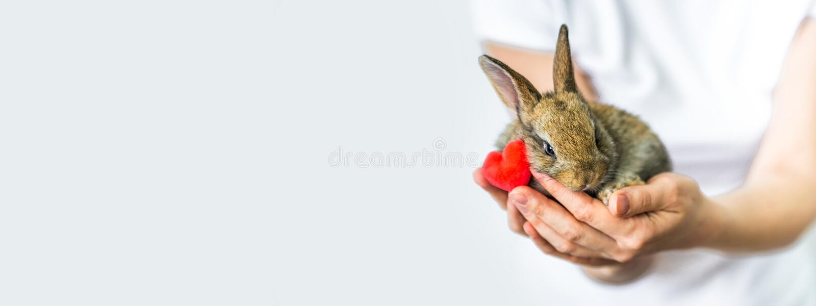 Banner little rabbit and heart in human hands. The concept of animal protection and conservation. Bunny close-up in the. Palm of the girl`s hand. Careful stock photo