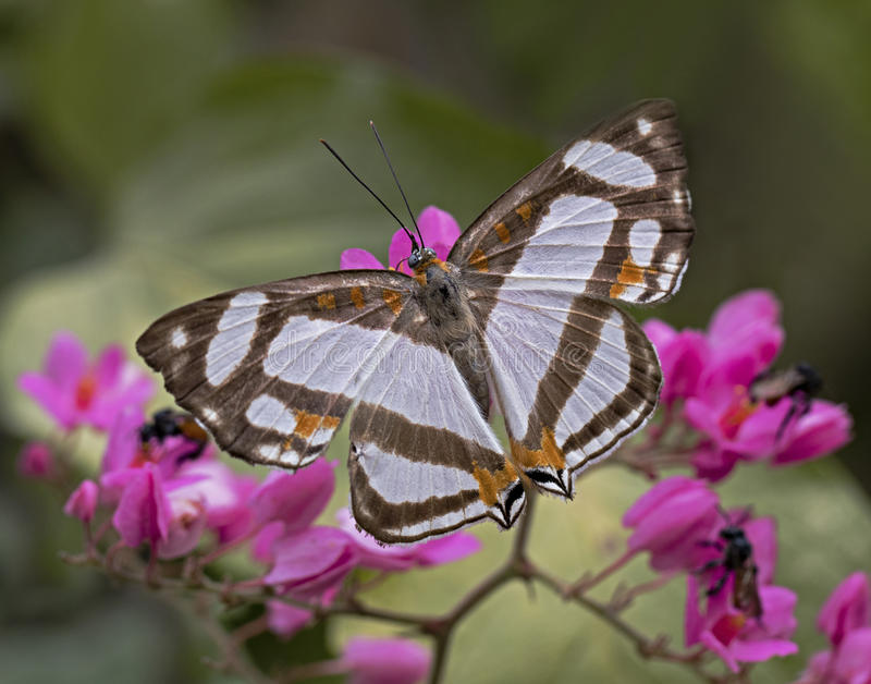 Banner Metalmark Butterfly. Close up of a Banner Metalmark butterfly on a coralvine in the jungle on the pacific coast of Mexico stock images