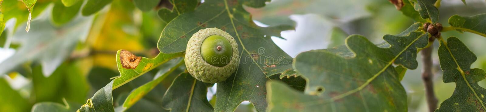 Banner of Oak branch with green leaves and acorns on a sunny day. Oak tree in summer. Blurred leaf background stock photos