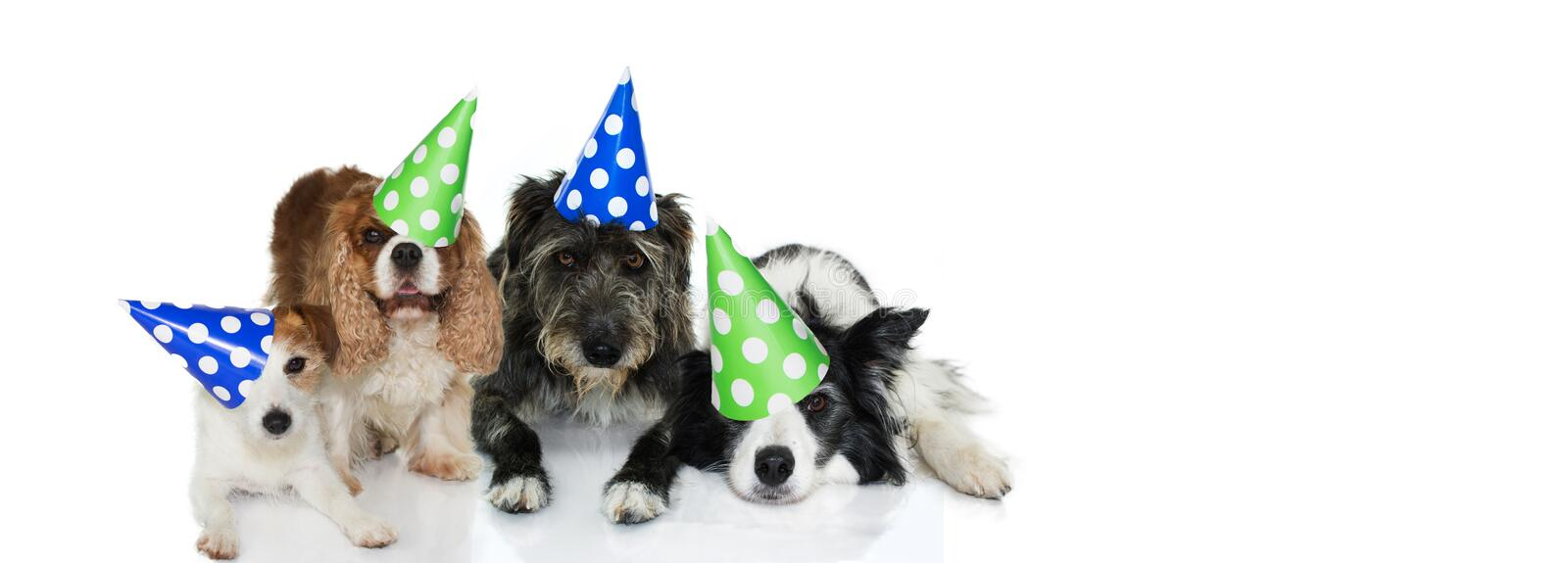 BANNER PET PARTY CELEBRATION. FUNNY GROUP OF FOUR DOGS WEARING POLKA DOT HAT DOR NEW YEAR, BIRTHDAY OR NEW YEAR. ISOLATED ON WHITE stock photography