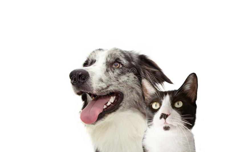 Banner pets. Side happy profile blue merle border collie and cat  looking up. Isolated on white background royalty free stock photo