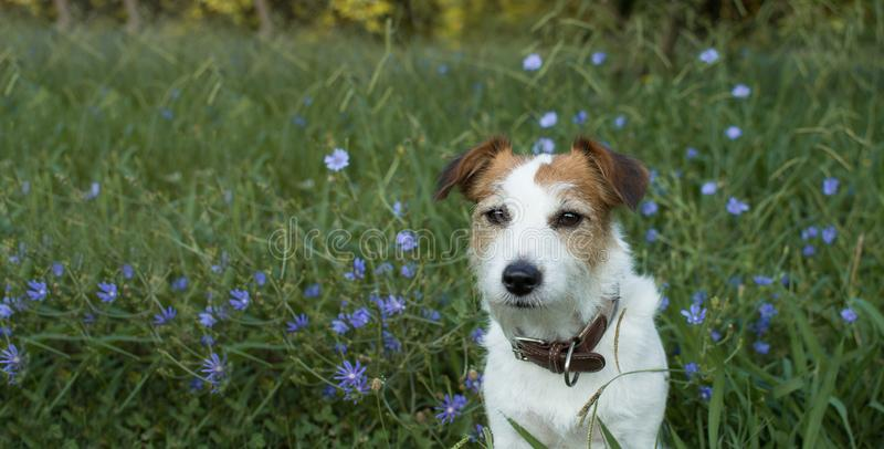 BANNER OF A PORTRAIT CUTE JACK RUSSELL DOG SITTING IN A VIOLET F royalty free stock image