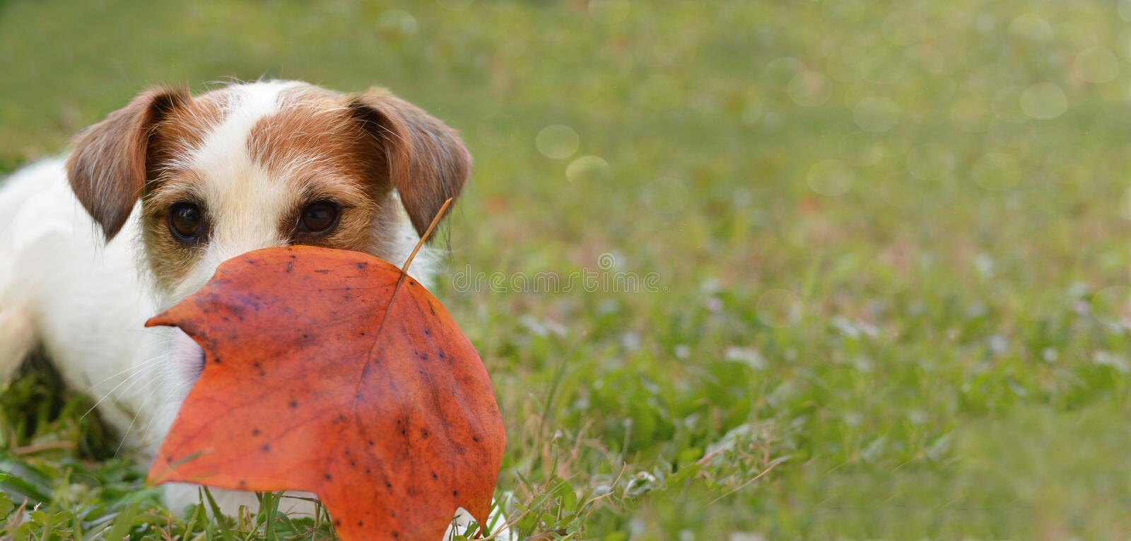 PORTRAIT OF A HEARTWARMING AND ADORABLE JACK RUSSELL DOG PLAYIN royalty free stock photo
