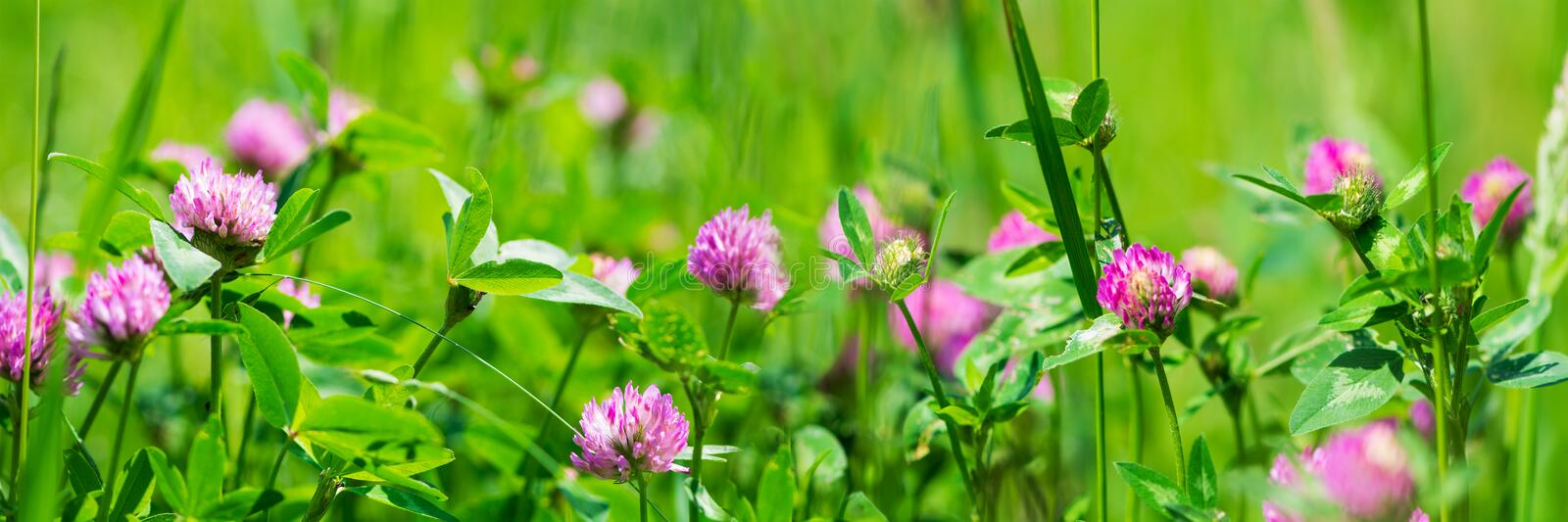 Banner 3:1. Purple clover trifolium flowers on meadow. Spring nature background. Soft focus.  stock image
