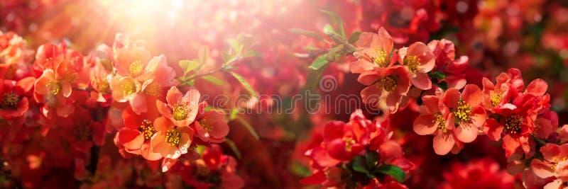 Banner 3:1 Rote Blüten von Chaenomeles japonica-Strauchschwanz-Chince oder Maule's Quitce Frühlingshintergrund Leerzeichen kopier stockfoto