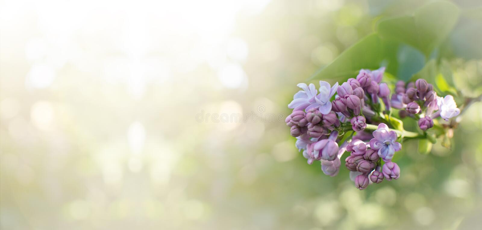 BANNER SPRING FLOWER, TWIG PURPLE LILAC SYRINGA VULGARIS. DEFOCUSED BACKGROUND royalty free stock image