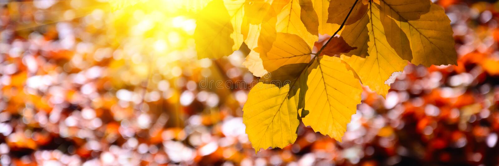 Banner 3:1. Sunlight from alder foliage in sunny day. Autumn background. Soft focus stock image