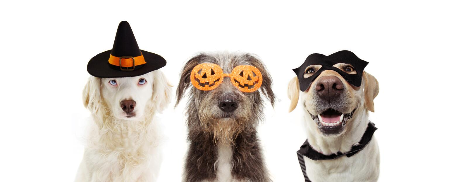 Banner three puppy dogs celebrating halloween wearing pumpkin orange glasses, hero and witch costume. Isolated on white background royalty free stock images