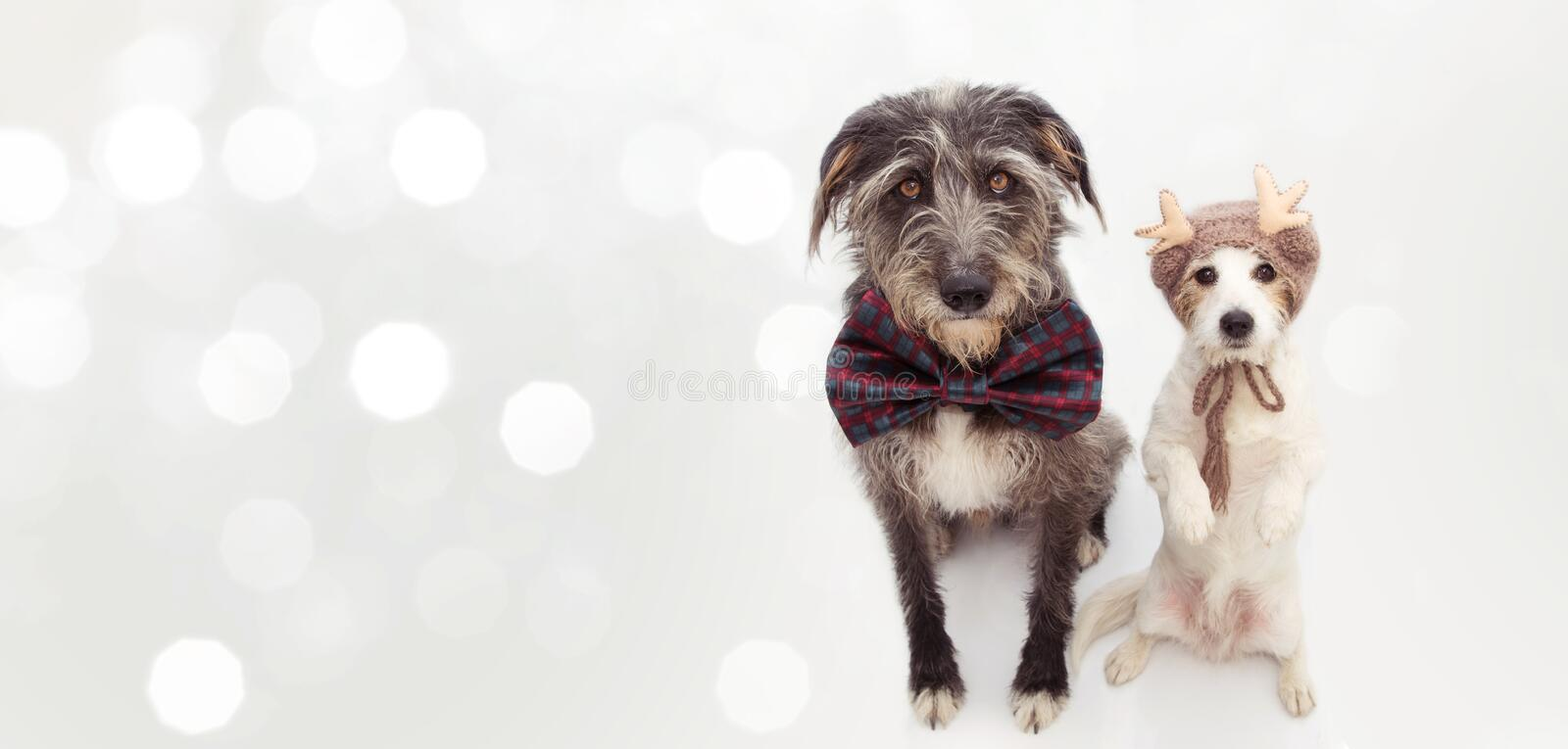 BANNER TWO CHRISTMAS DOGS. JACK RUSSELL AND A SHEEPDOG WEARING A CHECKERED BOW TIE AND A REINDEER HAT. ISOLATED ON WHITE stock images