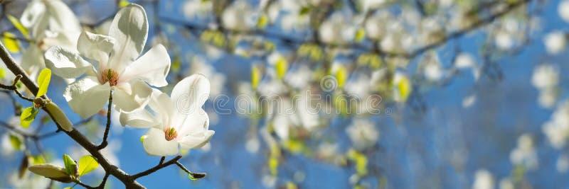 Banner 3:1 Weiße Magnolienblume auf dem Baum gegen den blauen Himmel Frühlingshintergrund Weichfokus lizenzfreie stockfotografie