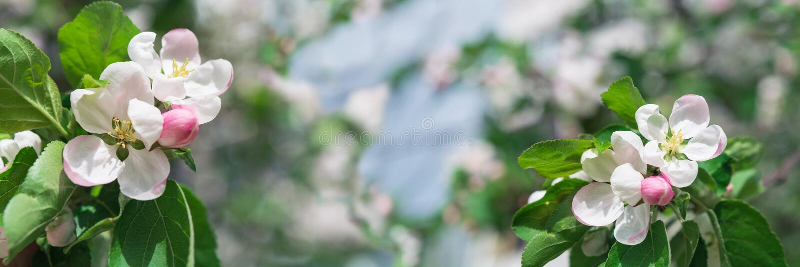 Banner 3:1 Weißer Apfelbaum blüht gegen blauen Himmel Frühlingshintergrund Leerzeichen kopieren lizenzfreie stockfotos