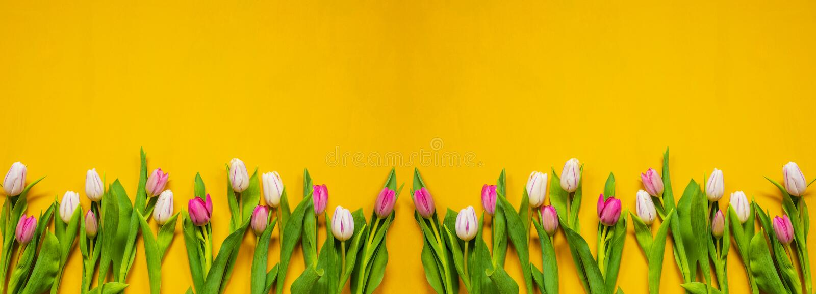 Banner Of Yellow And Pink Tulip Spring Flowers, Yellow Background royalty free stock photography