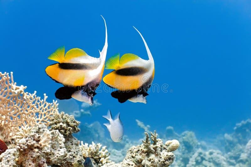 Bannerfish images libres de droits