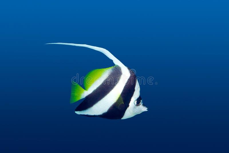 bannerfish zdjęcia stock
