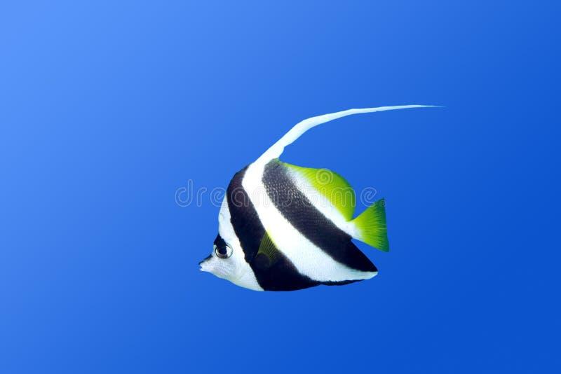 bannerfish zdjęcie stock