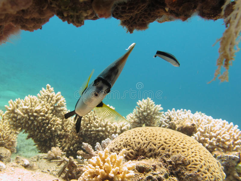 Bannerfish and cleaner wrasse in clear blue water. Portrait of a bannerfish on a coral reef in a clear blue sea royalty free stock photos
