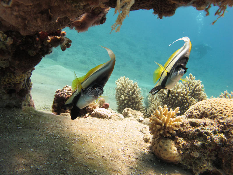 Download Bannerfish In A Clear Blue Sea Stock Image - Image: 19752675