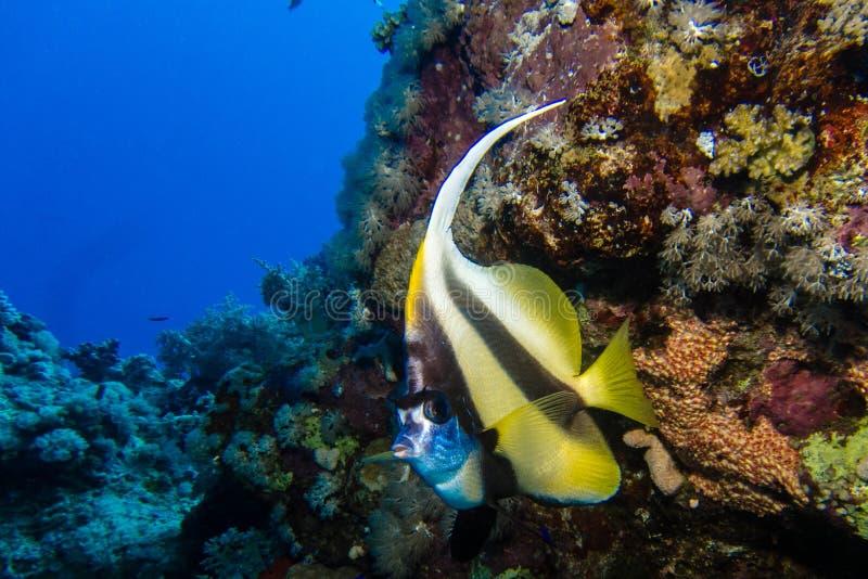 Bannerfish de Longfin en Egipto imagen de archivo
