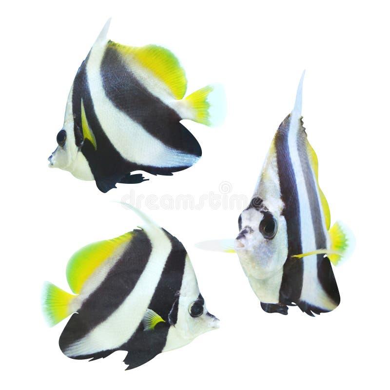 bannerfish del longfin aislados en blanco fotografía de archivo