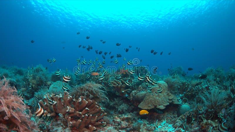 Bannerfish em um recife de corais imagens de stock