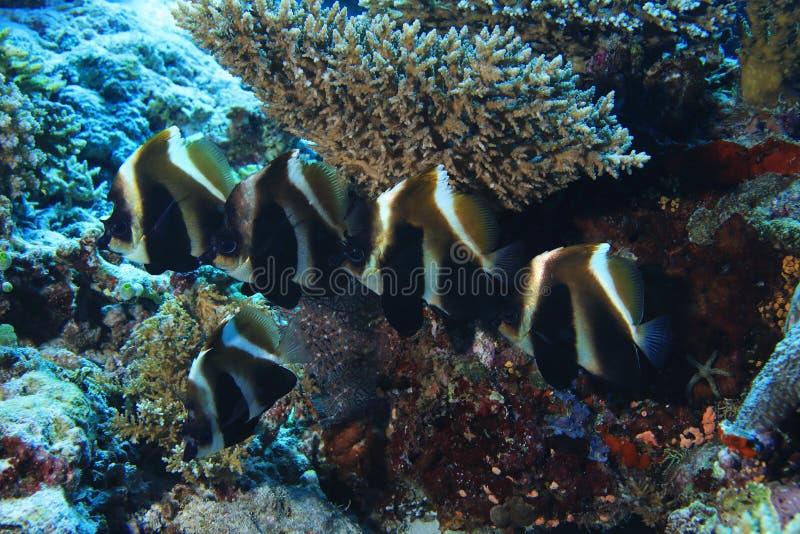 Bannerfish fantasmas imagen de archivo
