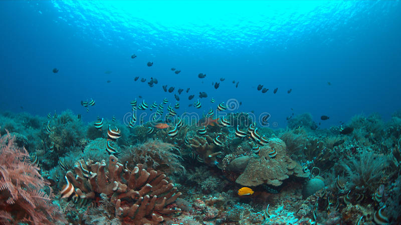 Bannerfish sur un récif coralien images stock