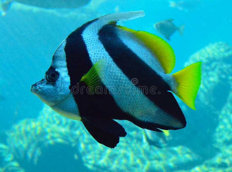 Bannerfish w szczególe zdjęcia stock