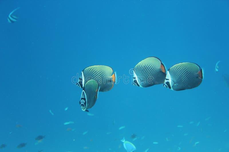 bannerfishlongfin maldives royaltyfri fotografi