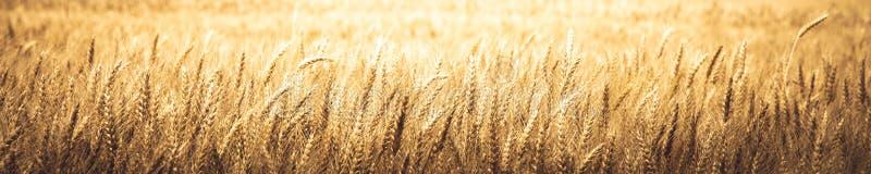 Bannière de blé d'or mûr photographie stock