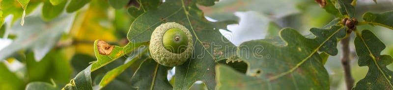 Bannière de branche de chêne avec des feuilles et des glands de vert un jour ensoleillé Chêne en été fond brouillé de feuille photos stock