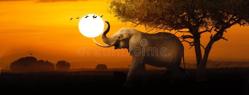 Bannière de Web de scène de coucher du soleil d'éléphant africain image stock