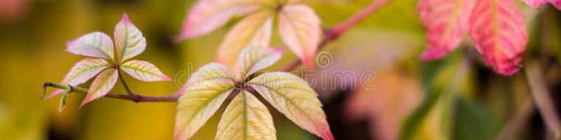 Bannière des feuilles jaunes rouges des raisins sauvages en automne photographie stock