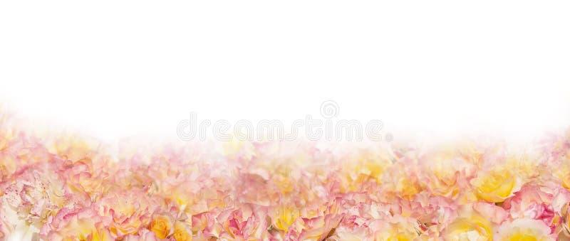 Bannière rose de roses jaunes, d'isolement photos stock