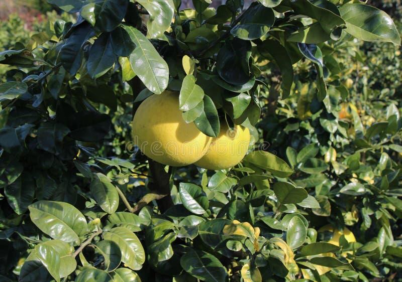 Banpeiyu owoc na gałąź obraz stock