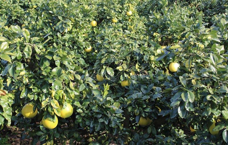 Banpeiyu owoc na gałąź obrazy stock