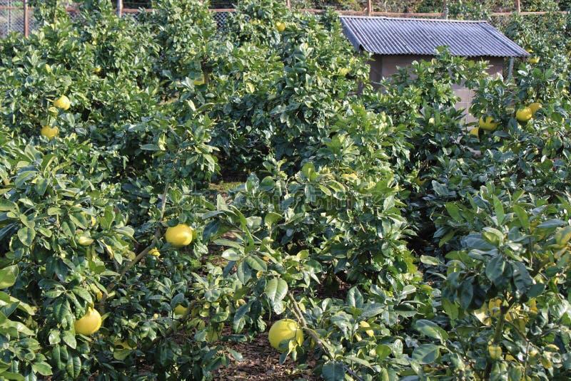 Banpeiyu owoc na gałąź fotografia royalty free