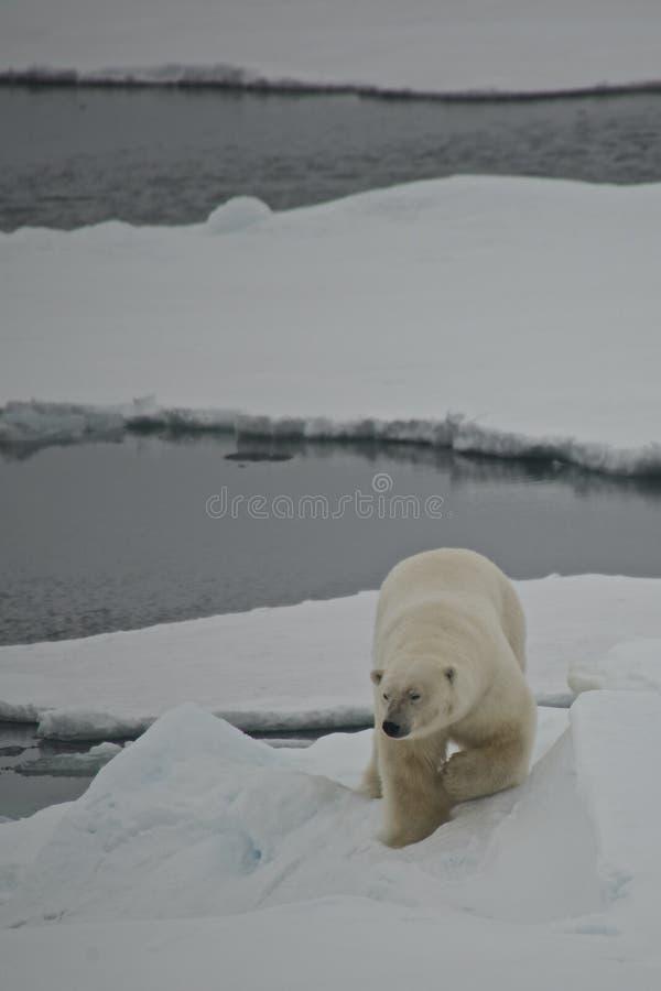 Banquise descendante d'ours blanc dans l'Arctique images libres de droits