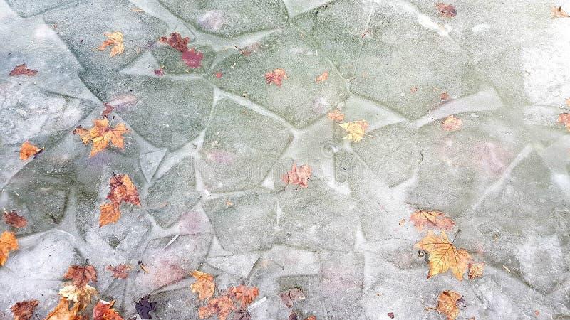 Banquises grises avec la neige croquante blanche et les feuilles en bronze d'érable photos stock