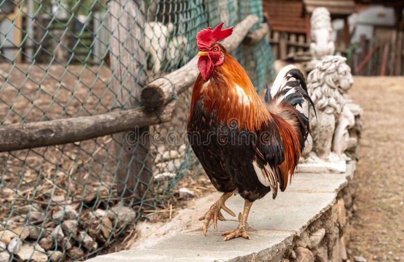 Bantam asiatico del gallo variopinto all'aperto su un'azienda agricola immagini stock libere da diritti