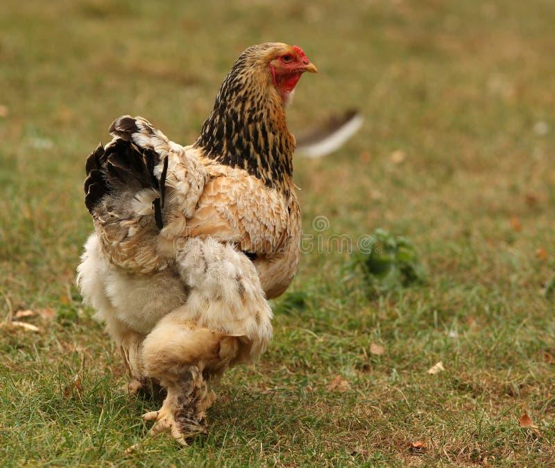 bantam kurczak fotografia stock