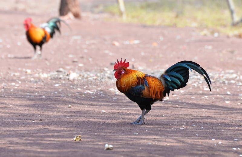 Bantam kurczak fotografia royalty free