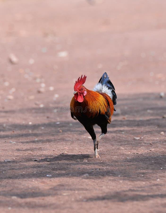 Bantam kurczak obraz royalty free