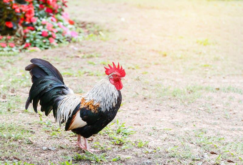 Bantam kurczak zdjęcie stock